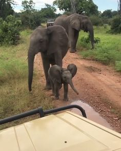 Teenage elephant keeps curious baby elephant from getting too close to the humans : babyelephantgifs