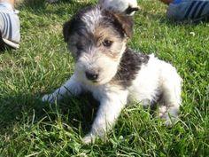 Cute Wire Fox Terrier Puppy