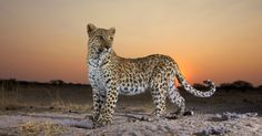A leopard poses for a Nambia sunset. Like other big animals it's at risk even in national parks. (Photo: H. van den Berg)