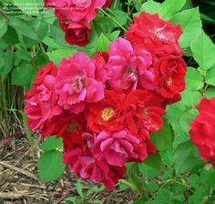 Hybrid Kordesii Rose 'Champlain'  Rosa ~ very hardy red climber (Explorer series)-- needs to be trellised