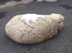 sheep, animal, and cute image Cute Creatures, Beautiful Creatures, Animals Beautiful, Cute Funny Animals, Cute Baby Animals, Animals And Pets, Fluffy Animals, Animal Pictures, Cute Pictures