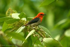 Scarlet Headed Flowerpecker, Indonesia