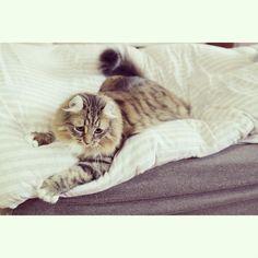 #igcat #ilovecat #instacat #instapic #instagood #instasize #ilovemycat #iloveanimals #instagramcats #cat #cats #cute #catlover #catsagram #catsofinstagram #animal #americancurl #americancurlcat #ねこ #ねこ部 #猫 #猫部 #ありがとう #アメリカンカール #にゃー #にゃんこ #にゃーにゃーにゃー by mikenya0814