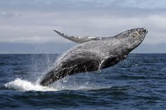 Wieloryby są największymi zwierzętami zamieszkującymi naszą planetę.