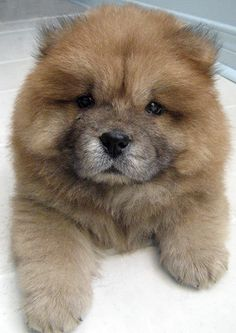 I want one ( chow chow )