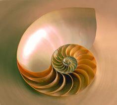nautilus-cut-in-half1.jpg (640×578)