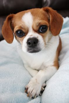 Striking a pose. Chihuahua Shih-tzu