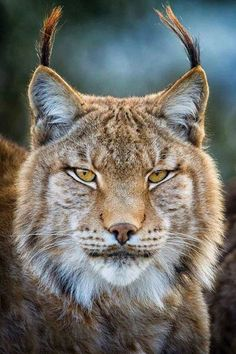 Regal Lynx