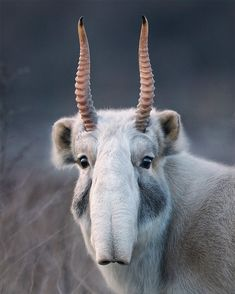 I'm talking @zsllondonzoo this evening about how artists and scientists can work together to raise awareness of endangered species. Here's the magnificent Saiga, who is relatively unknown and would probably feel at home in the cantina in Star Wars.  #zsl #endangered #saiga #wildlife #wild #starwars #nature #antelope #timflach #photography #conservation #critical