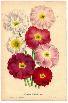 Antique Botanical Ephemera Image - Flowers - The Graphics Fairy