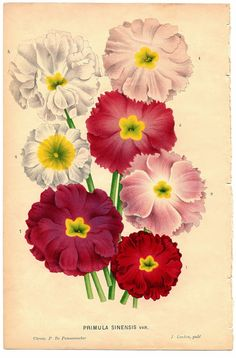 """""""Variety to  Pink and White Primroses Botanical"""" in 50 Favorite Free Vintage Flower Images -  The Graphics Fairy"""