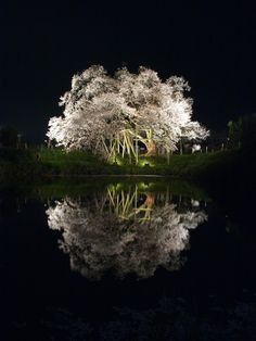 Sakura, fantastic night sakura..