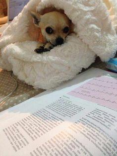 fay the chihuahua #Chihuahua