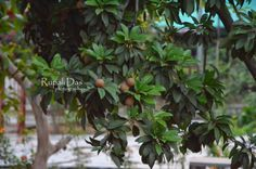 Trees fruits photography