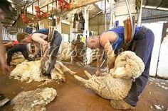 Image result for sheep shearing Australian Sheep, Animal Rights Organizations, Sheep Shearing, Peta, Agriculture, Education, Image, Onderwijs, Learning