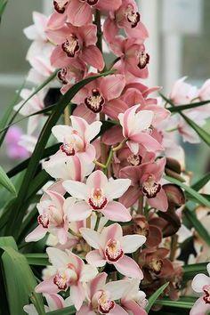 Pink Cymbidium orchids!: