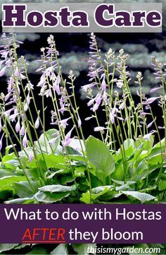 - Hosta Care – How To Keep Hostas Looking Great After They Bloom! How to keep your hosta plants looking great all season long – even after they bloom! Our top tips and tricks to keep your hosta plants beautiful. Garden Yard Ideas, Lawn And Garden, Garden Landscaping, Landscaping Tips, Garden Pots, Shade Garden Plants, Hosta Plants, Shade Perennials, Flowering Plants