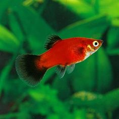 "$2 - The Red Wag Moon Platy Platy 2"" adult, can be found in many sheer, bright colors and will retain its small body size. Female Platys can grow to 3 inches in length with males a bit smaller. When male and female are coupled, the Red Wag Moon Platy Platy can and will produce broods of young on an average of once a month. This time can be shorter or longer, depending mainly upon temperature. These fish are best kept in trios. This will keep the male from exhausting the female."