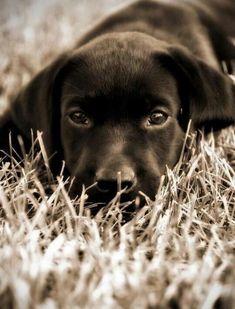 Labrador Retriever Pup ~ Classic Look Labrador Noir, Black Labrador, Black Labs, Labrador Retriever, Animals And Pets, Baby Animals, Funny Animals, Cute Animals, Golden Retrievers