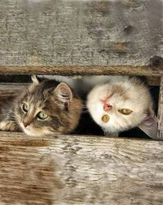 Cute cats peeking through the fence Cute Cats And Kittens, I Love Cats, Cool Cats, Kittens Cutest, Ragdoll Kittens, Beautiful Cats, Animals Beautiful, Cute Animals, Crazy Cat Lady