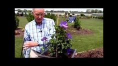 Renowned breeder and world authority on Clematis, Raymond Evison demonstrates to Overdevest Nursery's David Wilson.... How to Grow Clematis in Containers. Wa...