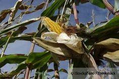 monsanto gmo corn http://articles.mercola.com/sites/articles/archive/2013/04/30/monsanto-gmo-corn.aspx