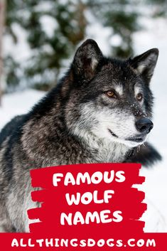 The most famous wolf to have lived was from Yellowstone. However, there are many famous names coming from movies like The Jungle Book characters and ofcourse the Game of Thrones now. Check out our list of famous Wolf names for inspiration. Famous Book Characters, Famous Books, Game Of Thrones Names, Game Thrones, Names That Mean Wolf, Siberian Husky Names, Wolf Name, Girl Dog Names