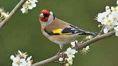 Inch Print - High quality prints (other products available) - Goldfinch (Carduelis carduelis) amongst Blackthorn blossom, Hertfordshire, England, UK - Image supplied by Nature Picture Library - Photograph printed in the USA Beautiful Bird Wallpaper, Birds Wallpaper Hd, Tier Wallpaper, Animal Wallpaper, Beautiful Birds, Wallpaper Backgrounds, Backgrounds Free, Animals Beautiful, Parus Major