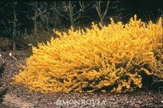 Monrovia's Gold Tide® Forsythia details and information. Learn more about Monrovia plants and best practices for best possible plant performance.