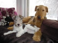 Wire Hair Fox and Airedale- Best friends :)