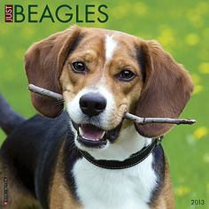 Just Beagles Wall Calendar: Although they pack a lot of energy and tail-wagging animation into their small frames, Beagles still leave a lot of room for sweetness and gentleness. You'll enjoy these wonderful dogs all year long with twelve bright, full-color photographs.  http://www.calendars.com/Beagles/Just-Beagles-2013-Wall-Calendar/prod201300006065/?categoryId=cat10023=cat10023#