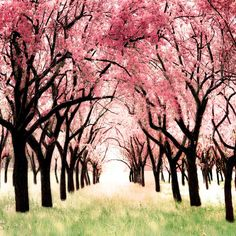 Cherry Blossom Orchard Photo Art for a girls room modern pink and brown nursery decor Wonderland
