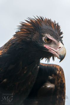 """Forged during """"""""The Dreaming"""""""" the Wedge-tailed Eagle- (""""Bunjil"""") & - Crow (""""Wah"""") are half-brothers."""