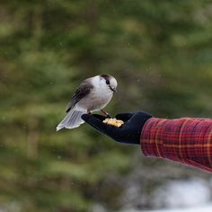 Canada's NEW National Bird: The Grey Jay Snack Time Algonquin Provincial Park, Nipissing, Unorganized, South Part, ON