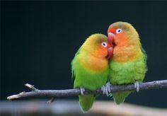 Love Birds |