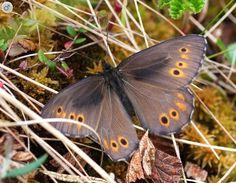 J -- Jutta Arctic, Oeneis jutta - Butterflies - NatureGate