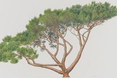 Pinus-pinea-botanical-painting.jpg (622×415)