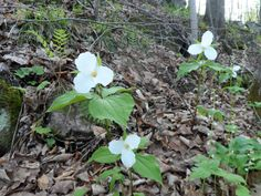 White Trillium growing along the Rideau Trail at Gould Lake Conservation Area. May 2014 @Cataraqui Region Conservation Authority