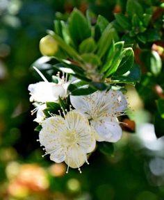 Myrtle, Flora, Image, Birth, Gardening, Tattoo, Google Search, Plants, Names