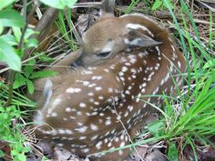 Sleepy new Fawn - The Great Outdoors - Cabin Life - Cabin Life Community