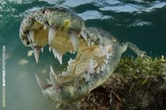 American crocodile in Mexico lunging at the camera. With bigfishexpeditions.com