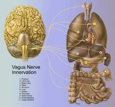 vagus nerve directly communicates between the brain and the viscera.