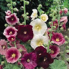 Hollyhock Indian Spring Mix Perennial Flower Seeds par CheapSeeds, $1.99
