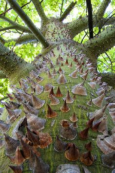 Silk Floss Tree (chorisia speciosa) deciduous tree native to both the tropical and sub-tropical forests of South America