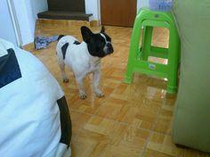Bulldog francés pied llamada Vaquis!!