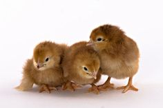 Rhode Island Red Chicks.We are also getting these chicks.
