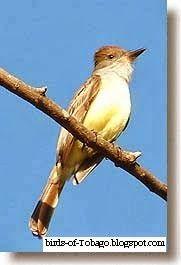 Brown-crested Flycatcher  http://birds-of-tobago.blogspot.com/2013/10/brown-crested-flycatcher.html  #Brown-crested Flycatcher #flycatcher #birds #Tobago #West Indies #Caribbean