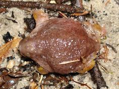 This strange animal is a turtle frog. Turtles frogs can be found in western australia and are named after their turtle-shaped body.  #weird #frogs #turtles