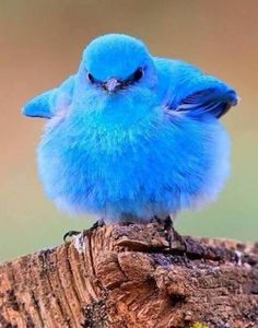 Beautiful blue bird.