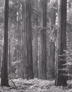 ANSEL ADAMS  1902 - 1984 Redwood Grove Date:1964